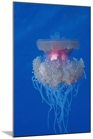 Crown Jellyfish (Netrostoma Setouchina), Red Sea, Egypt.-Reinhard Dirscherl-Mounted Photographic Print