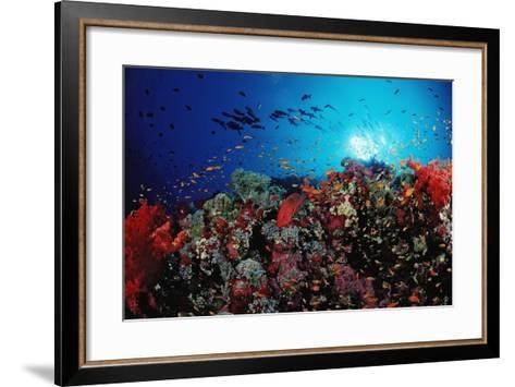 Coral Grouper and Reef, Cephalopholis Miniata, Sudan, Africa, Red Sea-Reinhard Dirscherl-Framed Art Print