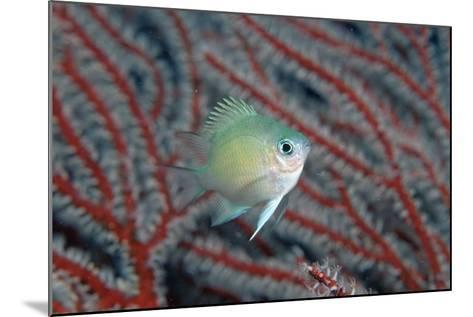 Spiny Chromis (Acanthochromis Polycanthus)-Reinhard Dirscherl-Mounted Photographic Print