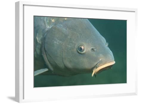 Carp Head (Cyprinus Carpio), Germany.-Reinhard Dirscherl-Framed Art Print