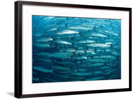 Blackfin Barracuda (Sphyraena Qenie) Pacific Ocean-Reinhard Dirscherl-Framed Art Print