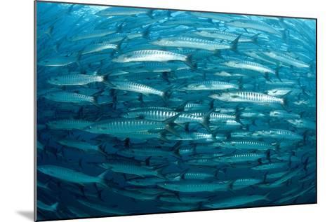 Blackfin Barracuda (Sphyraena Qenie) Pacific Ocean-Reinhard Dirscherl-Mounted Photographic Print