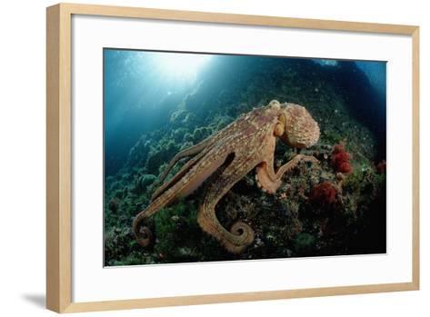 Octopus (Octopus Vulgaris)-Reinhard Dirscherl-Framed Art Print