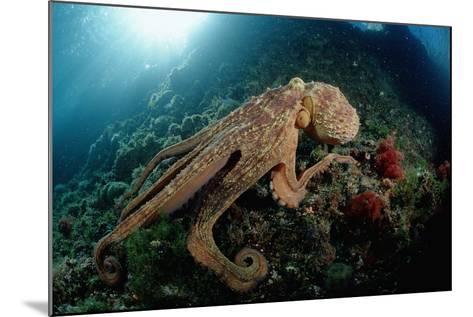Octopus (Octopus Vulgaris)-Reinhard Dirscherl-Mounted Photographic Print