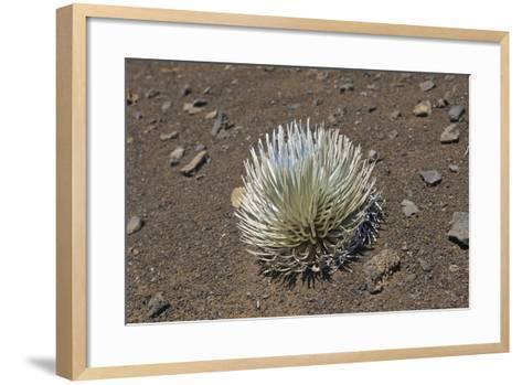 Endangered and Endemic Silversword at Haleakala Volcano Crater (Argyroxiphium Sandwicense Macroceph-Reinhard Dirscherl-Framed Art Print