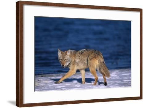 Coyote Walking in Snow next to Water-DLILLC-Framed Art Print