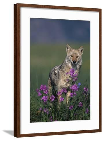 Coyote in Field with Wildflowers-DLILLC-Framed Art Print