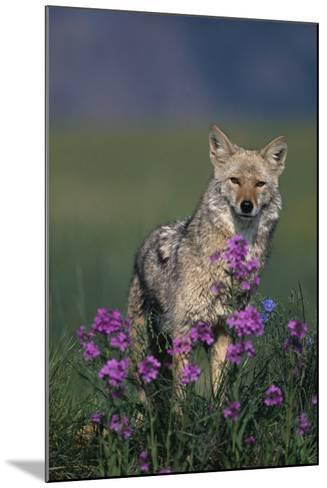 Coyote in Field with Wildflowers-DLILLC-Mounted Photographic Print