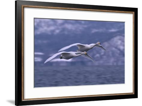 Whooper Swans Flying over Water-DLILLC-Framed Art Print
