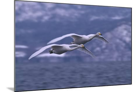 Whooper Swans Flying over Water-DLILLC-Mounted Photographic Print