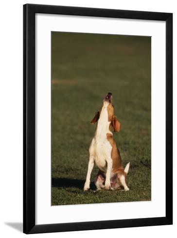 Beagle Howling in Grass-DLILLC-Framed Art Print