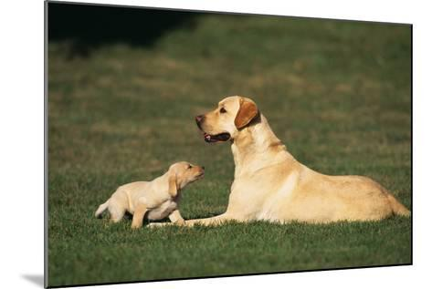 Labrador Mother and Puppy-DLILLC-Mounted Photographic Print
