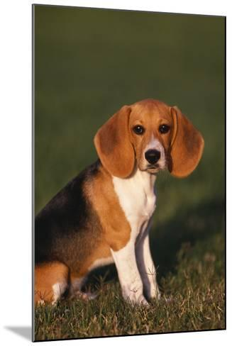 Beagle in Grass-DLILLC-Mounted Photographic Print
