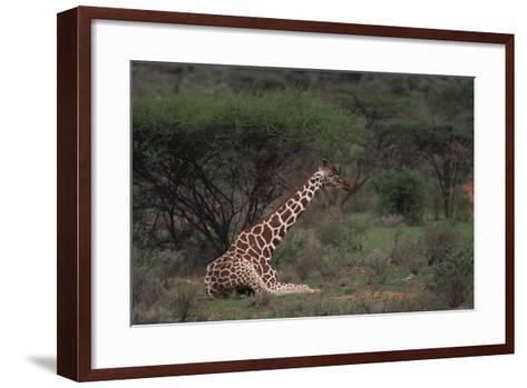 Reticulated Giraffe Resting-DLILLC-Framed Art Print