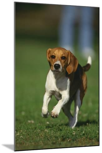 Beagle Running in Grass-DLILLC-Mounted Photographic Print