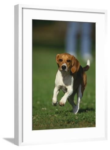 Beagle Running in Grass-DLILLC-Framed Art Print
