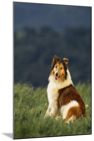 Collie Sitting in a Meadow-DLILLC-Mounted Photographic Print