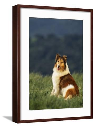 Collie Sitting in a Meadow-DLILLC-Framed Art Print
