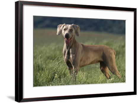 Weimaraner Standing in Field-DLILLC-Framed Art Print