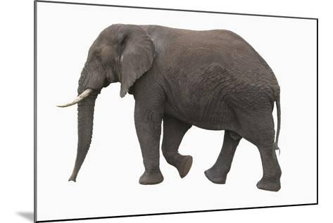 Indian Elephant Walking-DLILLC-Mounted Photographic Print