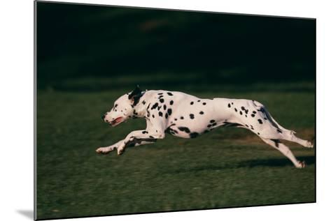 Dalmatian Running on Grass-DLILLC-Mounted Photographic Print
