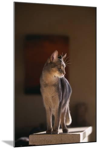 Abyssinian Blue Cat on Pedestal-DLILLC-Mounted Photographic Print