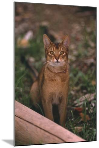 Abyssinian Ruddy Cat-DLILLC-Mounted Photographic Print