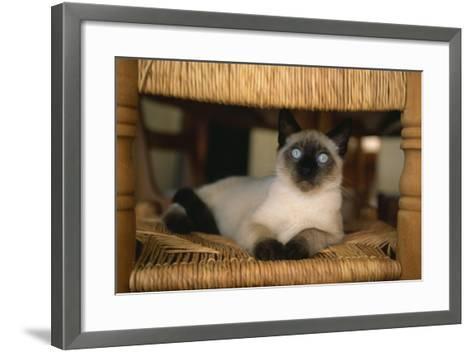 Siamese Cat on Chair-DLILLC-Framed Art Print