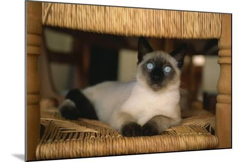 Siamese Cat on Chair-DLILLC-Mounted Photographic Print