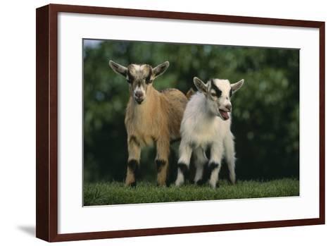 Two Pygmy Goats-DLILLC-Framed Art Print
