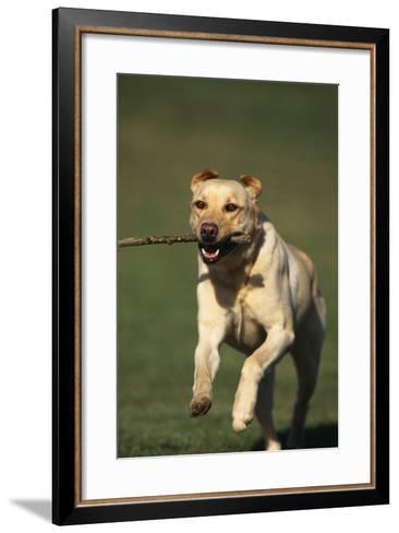 Yellow Lab Running with Stick-DLILLC-Framed Art Print