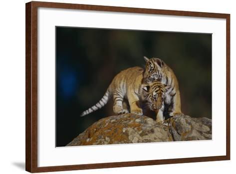 Bengal Tiger Cubs on Rocks-DLILLC-Framed Art Print