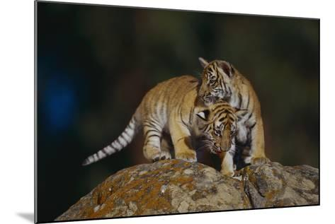 Bengal Tiger Cubs on Rocks-DLILLC-Mounted Photographic Print