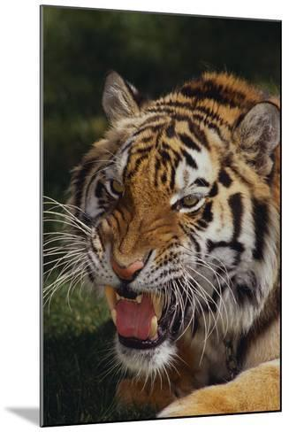 Bengal Tiger Snarling-DLILLC-Mounted Photographic Print