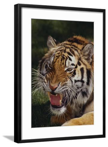 Bengal Tiger Snarling-DLILLC-Framed Art Print