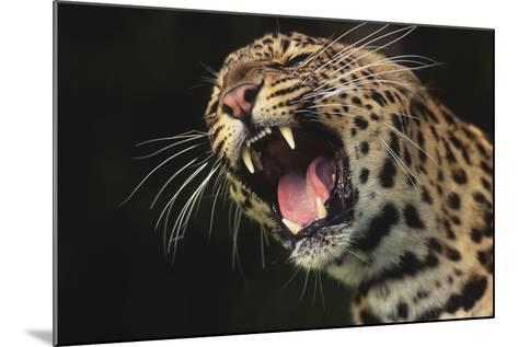 Leopard Growling-DLILLC-Mounted Photographic Print