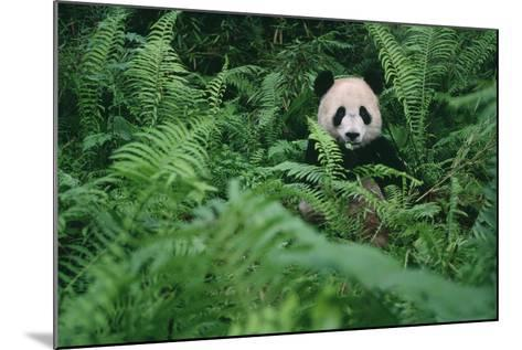 Giant Panda in Forest-DLILLC-Mounted Photographic Print