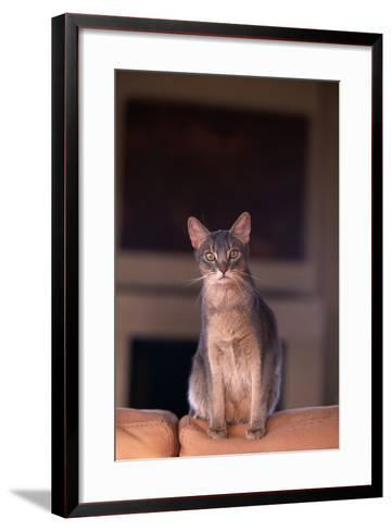 Abyssinian Blue Cat Sitting on Sofa-DLILLC-Framed Art Print