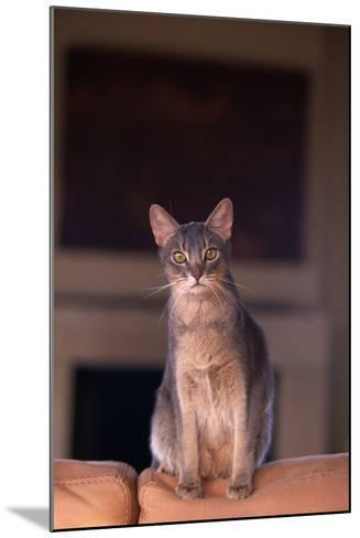 Abyssinian Blue Cat Sitting on Sofa-DLILLC-Mounted Photographic Print