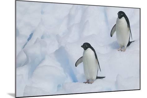 Adelie Penguins Walking on Ice Floe-DLILLC-Mounted Photographic Print