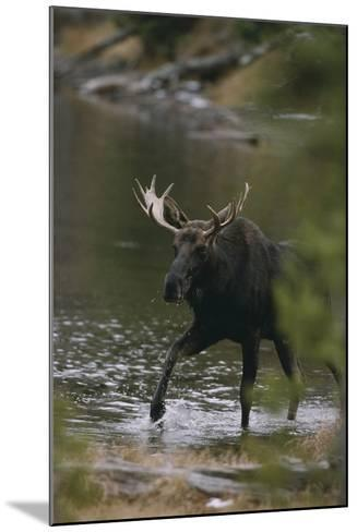 Bull Moose Walking in River-DLILLC-Mounted Photographic Print