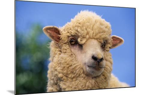 Sheep-DLILLC-Mounted Photographic Print