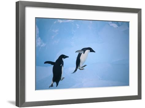 Adelie Penguins Climbing Ice Floe-DLILLC-Framed Art Print