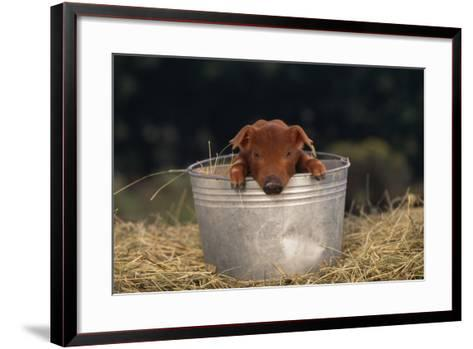 Duroc Piglet in a Bucket-DLILLC-Framed Art Print