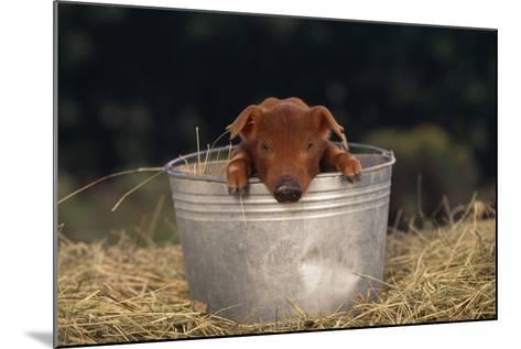 Duroc Piglet in a Bucket-DLILLC-Mounted Photographic Print