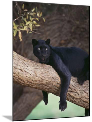 Black Panther Sitting on Tree Branch-DLILLC-Mounted Photographic Print