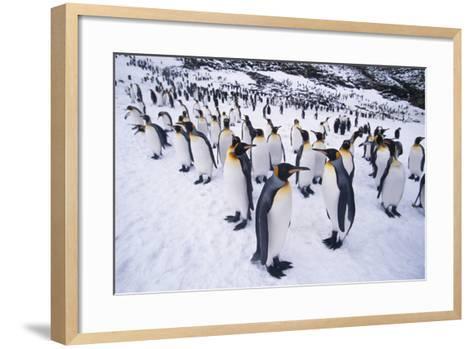 King Penguins Standing in Snow-DLILLC-Framed Art Print