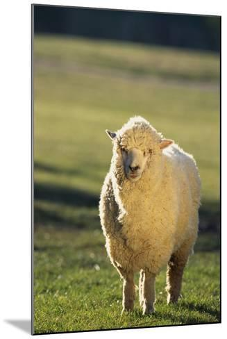 Sheep in Grass-DLILLC-Mounted Photographic Print