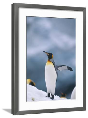King Penguin with Wing Outstretched-DLILLC-Framed Art Print