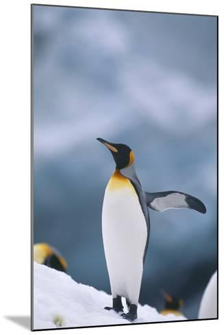 King Penguin with Wing Outstretched-DLILLC-Mounted Photographic Print